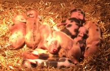 World famous Pennywell miniature pigs born at saltash.net